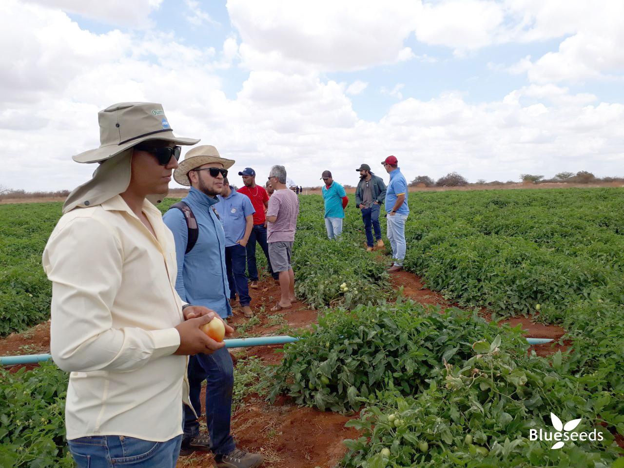 representantes-tecnicos-blueseeds-na-plantacao-de-tomate