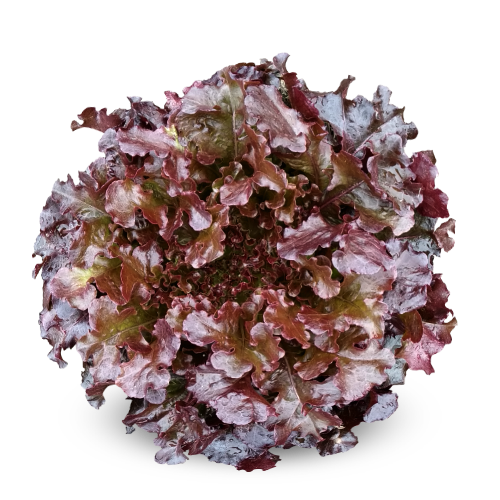 Blueseeds Alface Mimosa Roxa AMR0075 Hidroponia
